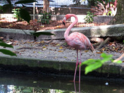 Flamingo at the Everglades Wonder Gardens in Bonita Springs