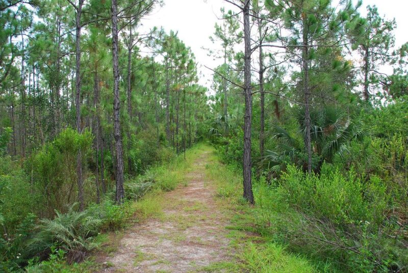 calusa forests